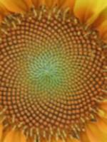 Sunflower Math